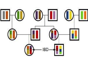 Vererbung DNA-Abschnitt (IBD). © Graham Coop.